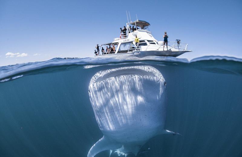 近日,有摄影者在距西澳大利亚海岸约6公里处的宁格鲁礁附近拍摄到庞大的鲸鲨潜藏在一艘游艇下方的照片。