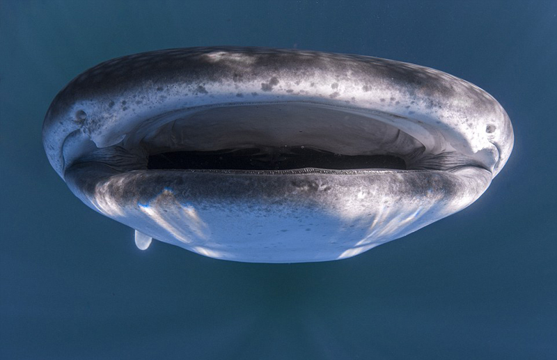 这头体型巨大的鲸鲨安静地潜伏在一艘游艇之下,船上的游客毫无戒备。海水湛蓝清澈,这一人与鱼和谐共处的画面尽收摄影师的眼底。鲸鲨属世界上最大的鱼类,但并不具备危险性,而人类对海洋的污染反而会对它们的生存造成威胁。
