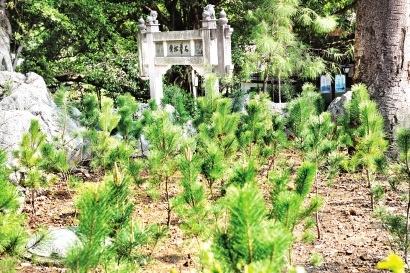 福州西湖大梦山景区 已种植470多棵黑松
