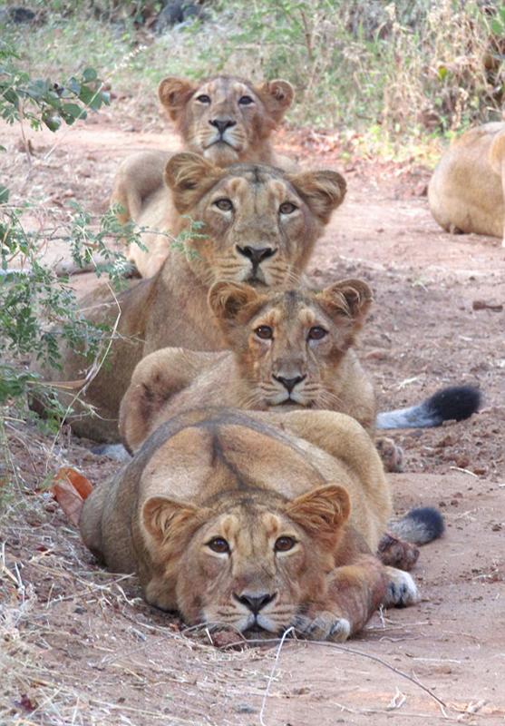 呆萌可爱!印度母狮子和幼崽列队拍全家福
