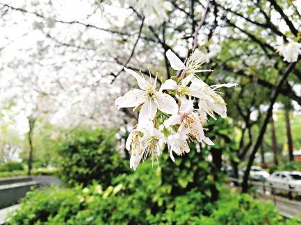 福州西湖公园 雨打樱花,仿佛下了小雪