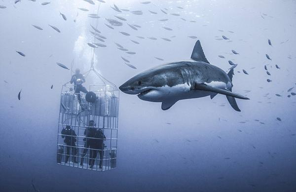 """墨西哥6米长大白鲨绕""""娇小""""研究人员优雅畅游"""