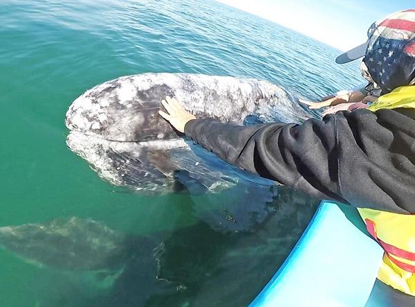 墨西哥海域呆萌灰鲸邂逅游船 吸引游客伸手爱抚