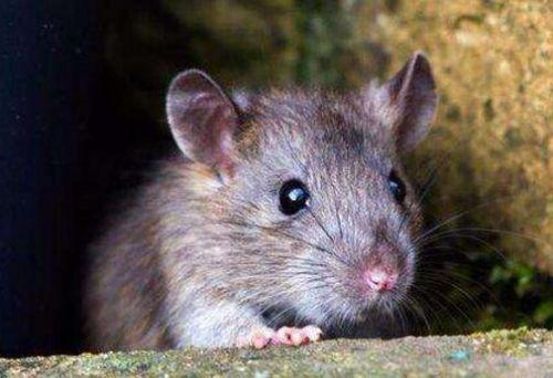 """新西兰岛屿终""""脱鼠"""" 岛上曾生活超20万只老鼠"""