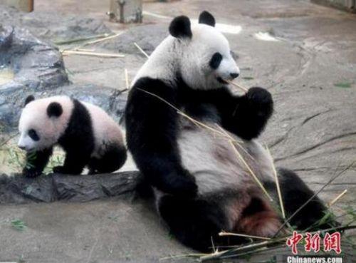 """备受观众宠爱 日本希望再租借大熊猫""""香香"""""""