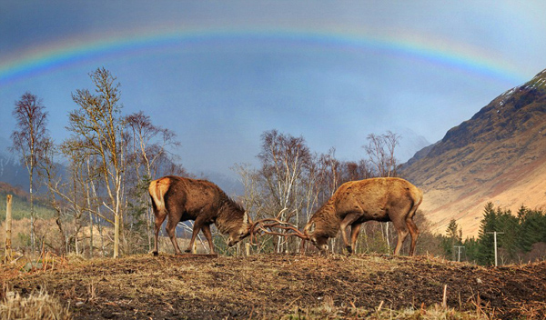 自然奇景!苏格兰两只牡鹿彩虹下低头对角玩耍
