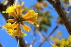 福州鹤林公园黄花风铃木绽放 金黄璀璨迎暖春