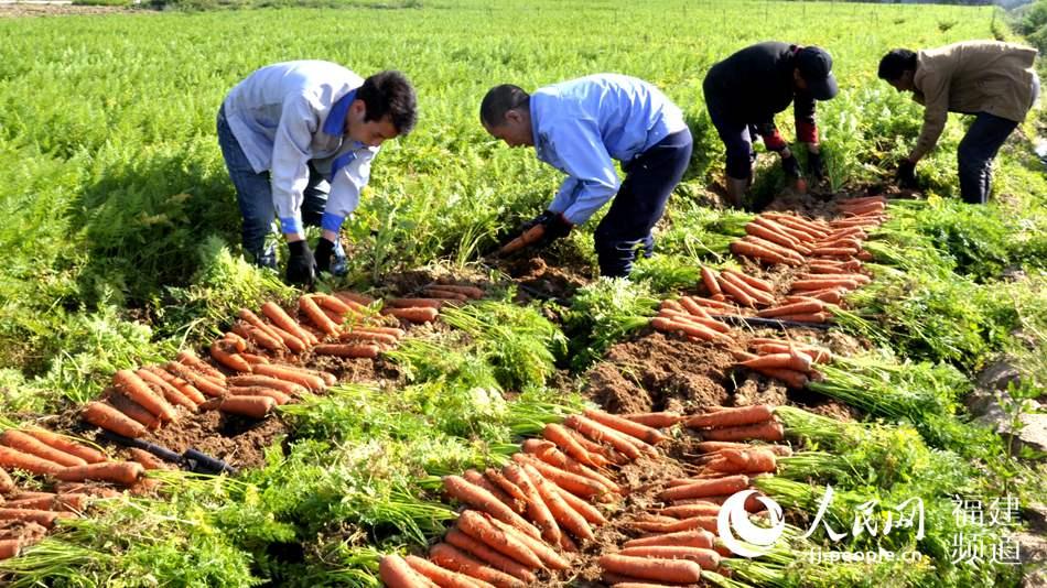 图:晋江胡萝卜大丰收 一二三产业融合快速推进