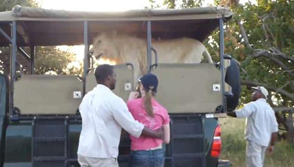 南非雄性白狮莫名跳上观光车 游客吓得惊慌失措