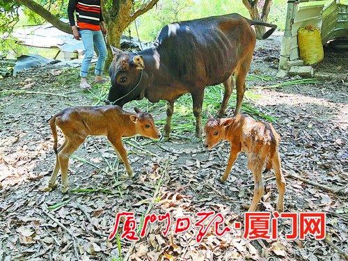 """母牛生下一对""""双胞胎""""小牛 村里老人称80多年第一次看见"""