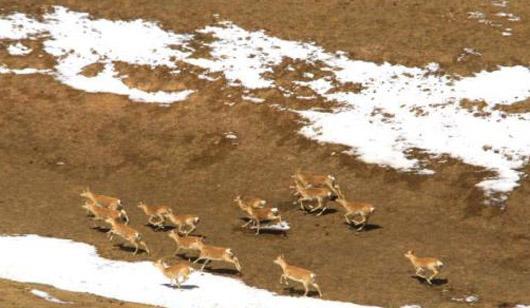 甘肃山丹马场草原惊现成群黄羊