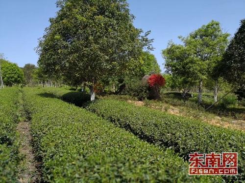 武夷山:茶山套种绿化树 生态反哺催生绿色效益