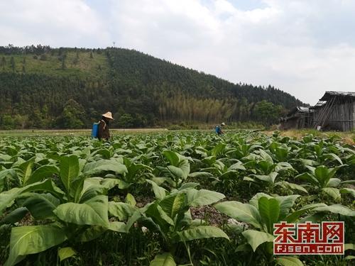 南平顺昌岚下:发展烟叶支柱产业 促农民增收
