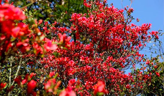 漳州华安:10公里野杜鹃花姹紫嫣红迎来最佳赏花期