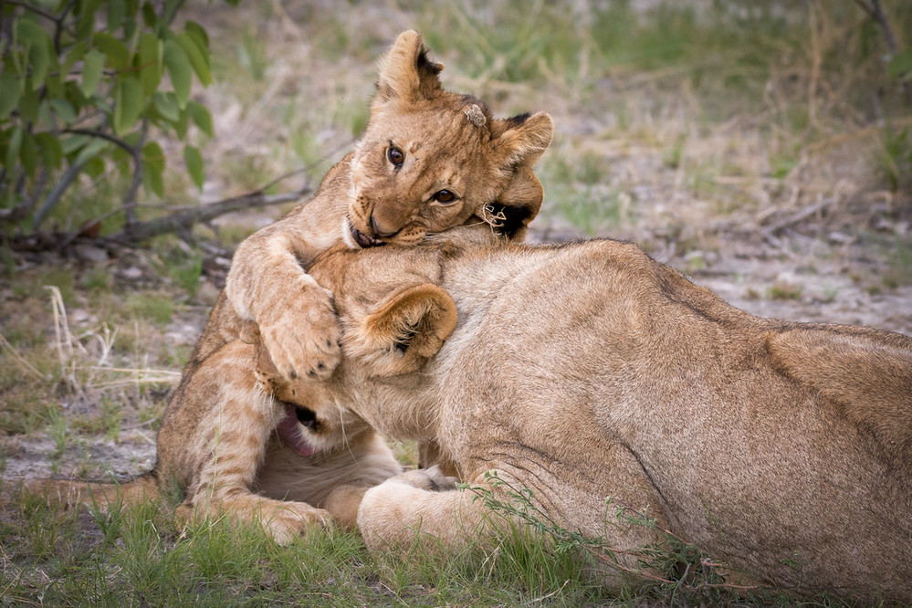 纳米比亚雌狮张口吞下幼狮头部