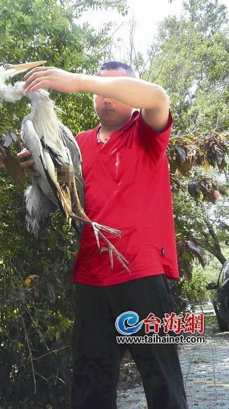 大苍鹭落难餐厅员工救助 若恢复良好将在厦门筼筜湖红树林放生