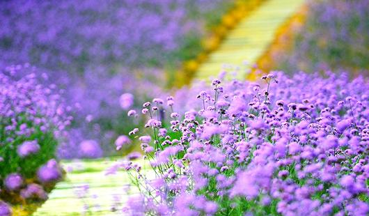 福州花海公园柳叶马鞭草盛开