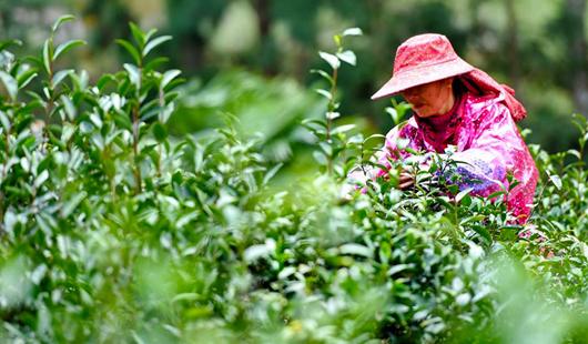 武夷桐木村:一片叶子,成就一个乡村