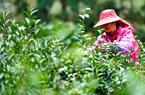 武夷山桐木村:一片叶子,成就一个乡村
