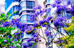 厦门变身紫色海洋 美翻全城的蓝花楹优雅盛开