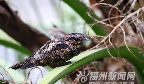 """夜鹰强势回归 福州黄昏和夜间可听到""""哒哒""""声"""