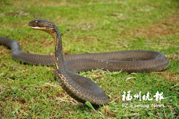 福州依伯拿竹竿抓眼镜王蛇反被咬 抢救及时捡回一命