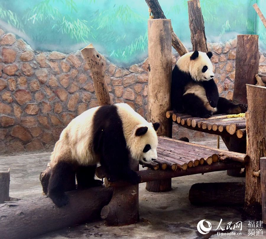 厦门迎来首对大熊猫双胞胎兄弟 向社会征集闽南昵称
