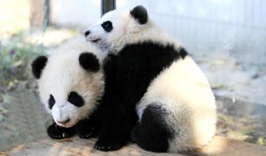 大熊猫双胞胎在厦门集美安家啦!