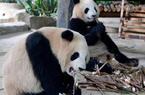 """双胞胎大熊猫""""思念""""""""思筠筠""""厦门安家"""