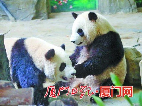 大熊猫兄弟来厦后首次亮相 将承担集美对台研学交流的使命