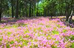 鼓岭五月迎来新一轮花季 红色三叶草花连片盛开