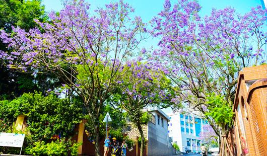 """福州街头蓝花楹盛开 对湖路、麦园路成""""紫色花海"""""""
