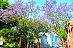 """ca88亚洲城手机版【官方ca88亚洲城手机版下载】_ca88亚洲城手机版下载街头蓝花楹盛开 对湖路、麦园路成""""紫色花海"""""""