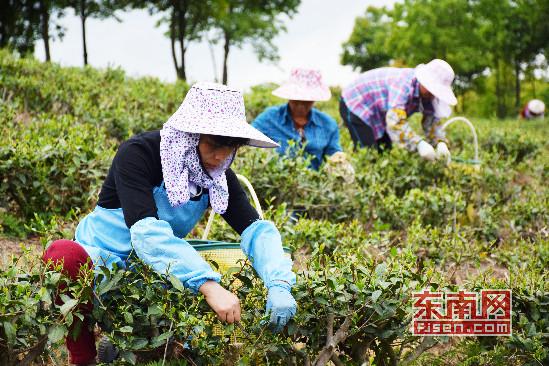 """漳州南靖县洋顶岽:十六年坚守""""绿色""""种茶经"""