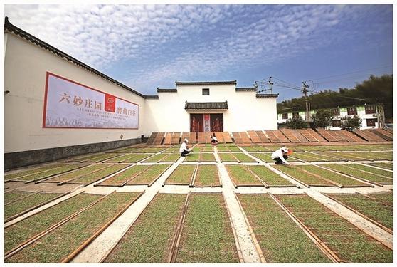 福鼎大坪:一座茶庄园带富一个村