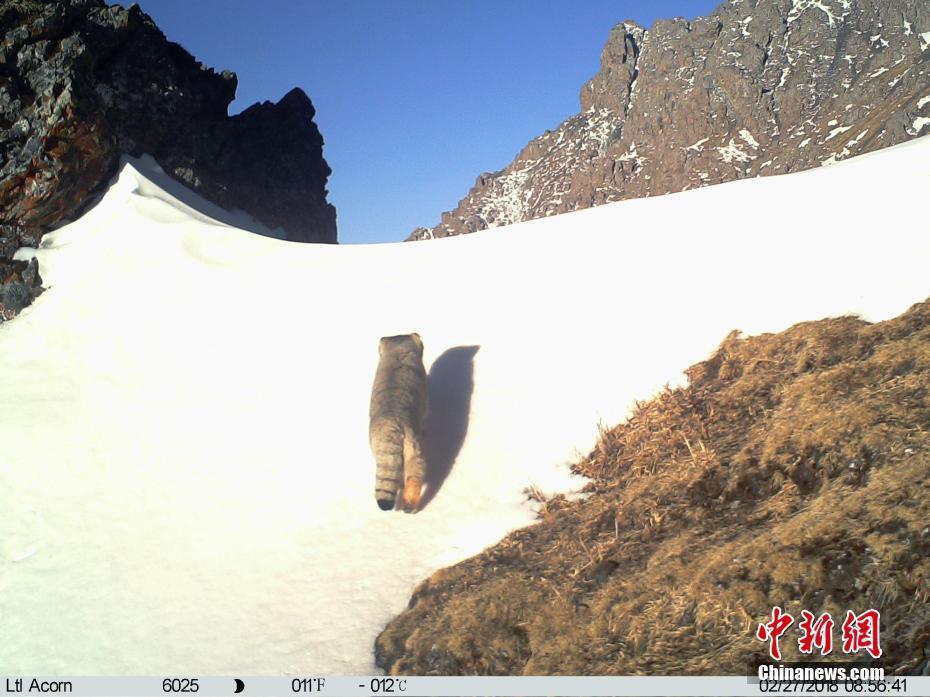 红外相机在澜沧江源头区域捕捉到兔狲活动影像