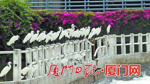 """鹭鸟进入恋爱季节 穿上""""婚纱""""涂上""""口红"""""""