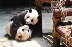 来厦门半个月 大熊猫思筠筠和哥哥的美好时光