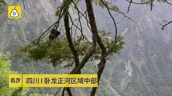 野生大熊猫现汶川,挂在树上呼呼大睡 网友爆笑:国宝太可爱了吧