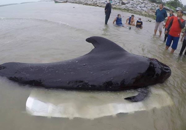 ca88亚洲城手机版【官方ca88亚洲城手机版下载】_泰国南部海岸发现死鲸 胃里有80个塑料袋重达8公斤
