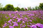 福州花海公园马鞭草花开正艳 紫色花田成浪漫海洋