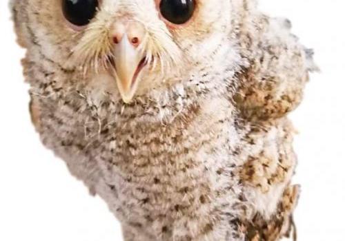 厦大南门岗亭发现国家二级保护动物领角鸮幼鸟