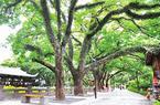 福州西湖30棵古树 本月挂牌正名