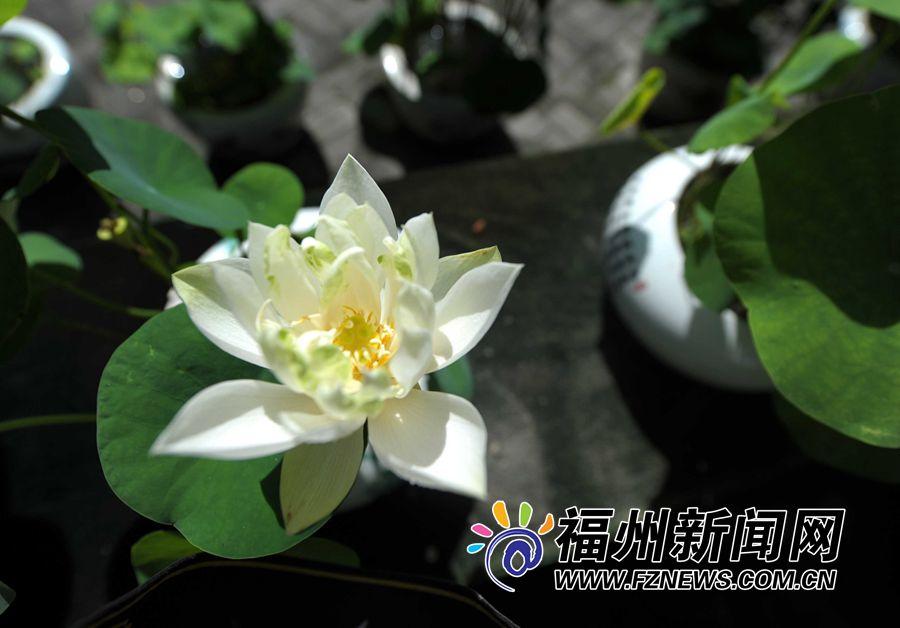 福州茶亭公园碗莲开放 吸引大批拍客零距离拍莲花