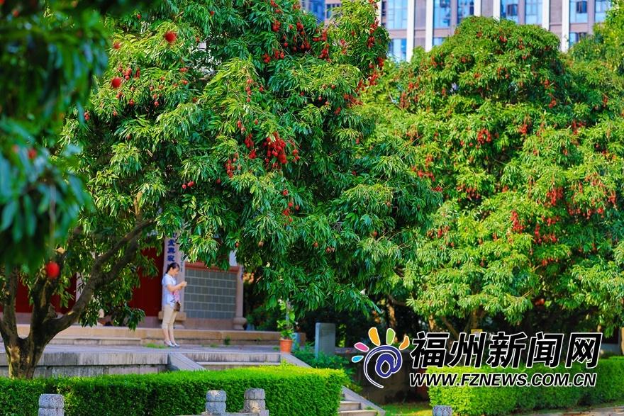 福州西禅寺:庭满荔树三百株 千年古刹荔枝香
