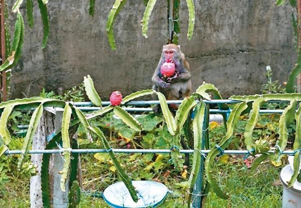 台湾火龙果价格暴跌农民弃收 让猴子吃到饱