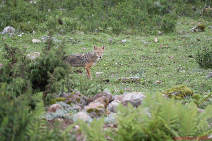 首次发现亚洲胡狼怎么回事?亚洲胡狼是什么样的曝光和狼有什么区别
