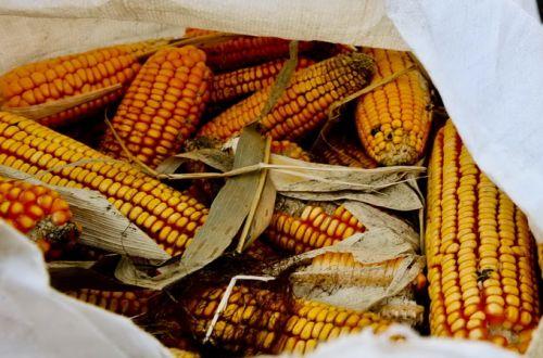 科研玉米被偷摘怎么回事?科研玉米做什么用了被谁摘走了
