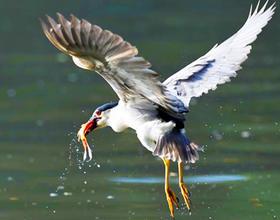 福州西湖公园:夜鹭出击 湖上捕鱼