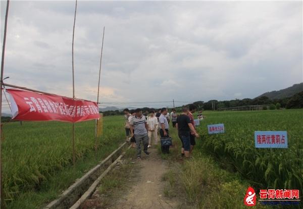漳州云霄农业局召开优质稻新品种展示示范现场会